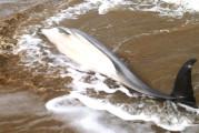 Ennesimo delfino spiaggiato a Punta Penna